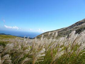 伊豆・稲取細野高原「秋のすすきイベント」相模湾を望む黄金の絶景!