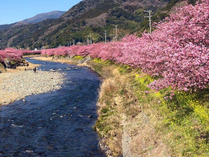 「河津桜まつり」、初めてでもしっかり楽しもう!