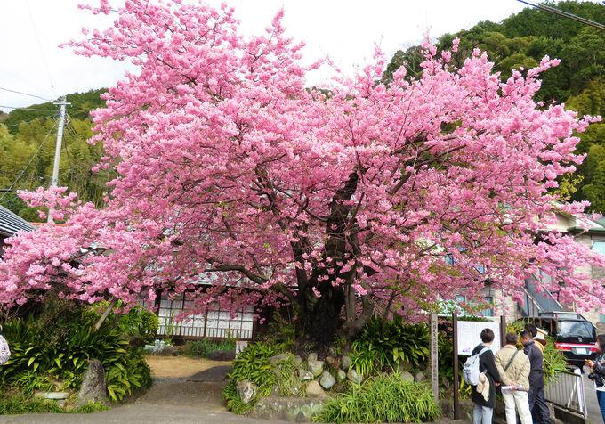 これだけは見ておきたい!河津桜原木と名木の数々