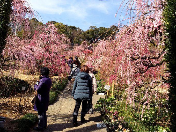 姉妹園、「奥山高原 昇竜しだれ梅園」もお薦め!
