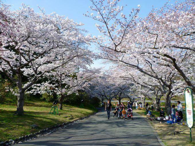 世界に誇る「桜とチューリップの庭園」