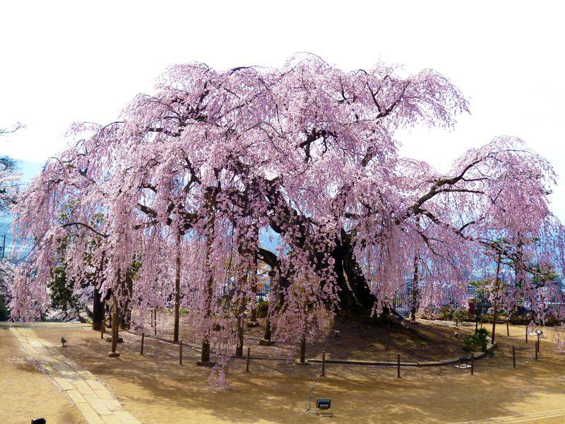 唯一無二の奇跡の桜!南信州飯田「麻績の里 舞台桜」