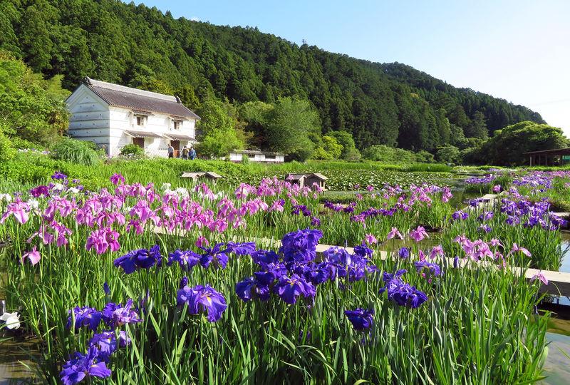 掛川市「加茂荘花鳥園」庄屋屋敷に咲き誇る花菖蒲とアジサイは圧巻!