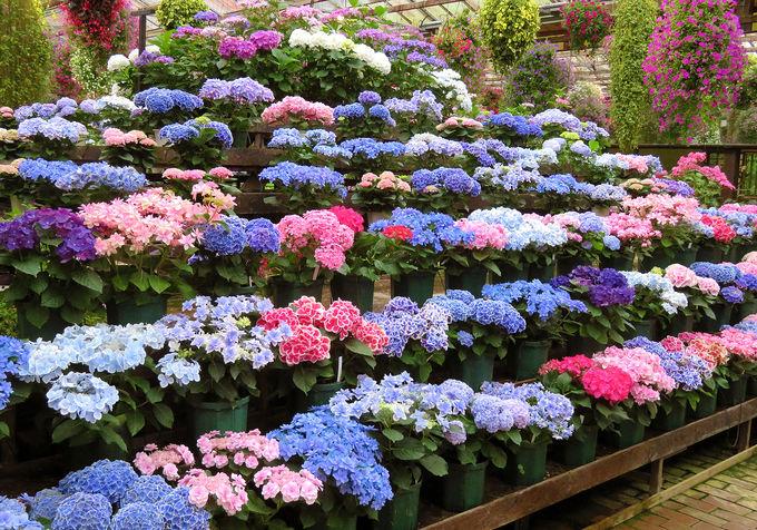 「展示温室」でアジサイをはじめ、沢山の花に囲まれよう!
