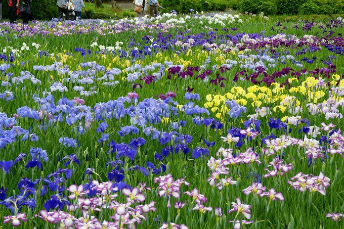 全国有数!庄屋屋敷の門前に咲き誇る「花菖蒲園」