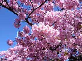 早春の伊豆で河津桜の絶景を!おすすめ名所&観光スポット10選
