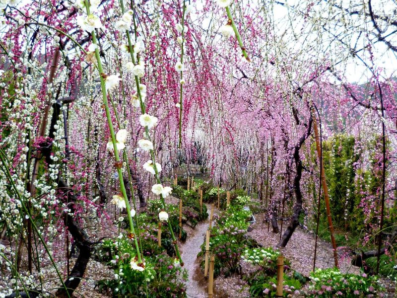 雲をつかみ天に昇る竜の美しさ!浜松「大草山 昇竜しだれ梅園」
