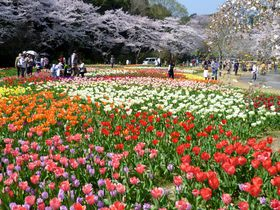 """はままつフラワーパークの見どころ・""""世界一美しい「桜とチューリップの庭園」""""が凄い!"""