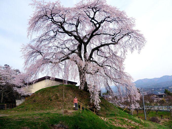古墳の上に咲く名桜!「麻績の里 石塚桜」