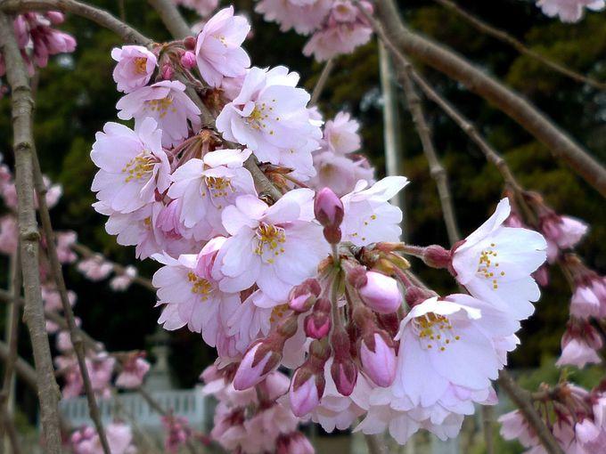 二重の突然変異!唯一の「半八重枝垂れ紅彼岸桜」