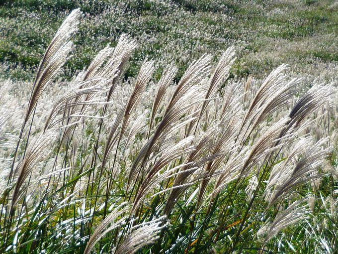 ススキの見頃なら、「仙石原すすき草原」にも足を延ばそう!