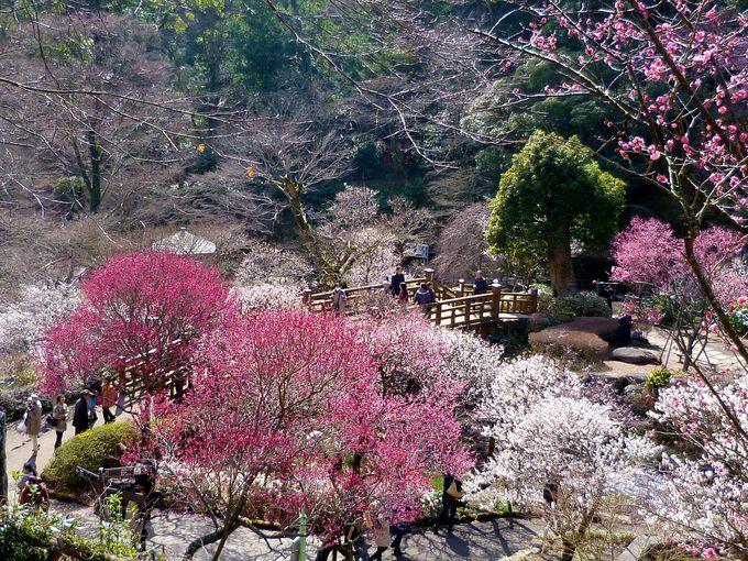 13.「河津桜」春を先取り