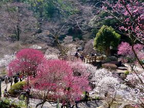 「熱海梅園梅まつり」見どころ徹底紹介!日本一の早咲き梅を楽しもう