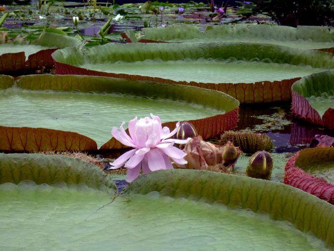 満開の花の下でお茶やバイキング!広々としたスイレンプールも見応え十分