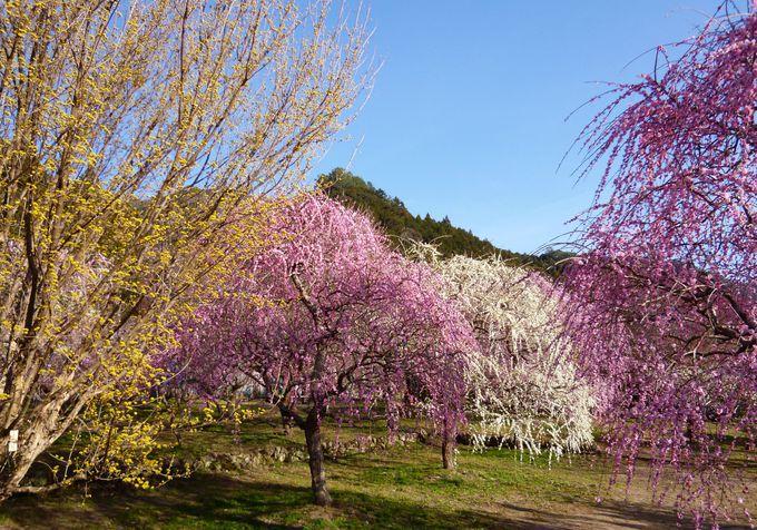 美しさが凝縮!色とりどりの「木下しだれ梅園」