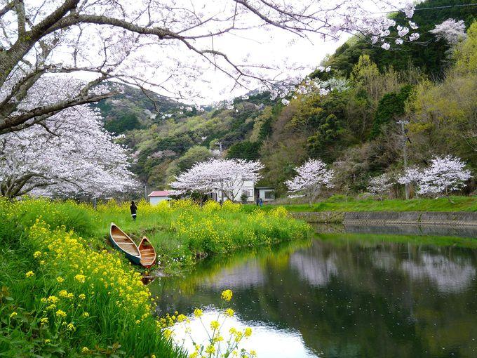 花畑との贅沢コラボ!桜の名所「那賀川沿いの桜並木」