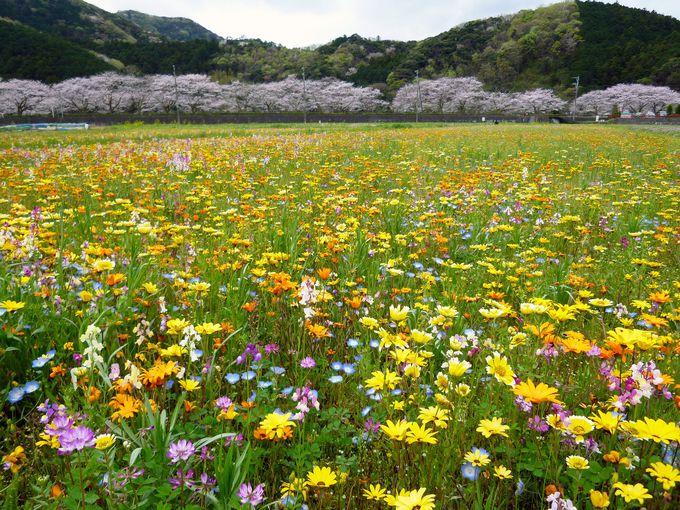 花摘みに足湯!「田んぼをつかった花畑」を楽しもう