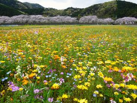 「田んぼをつかった花畑」と桜がすごい伊豆松崎!リアルかかしで人気急上昇