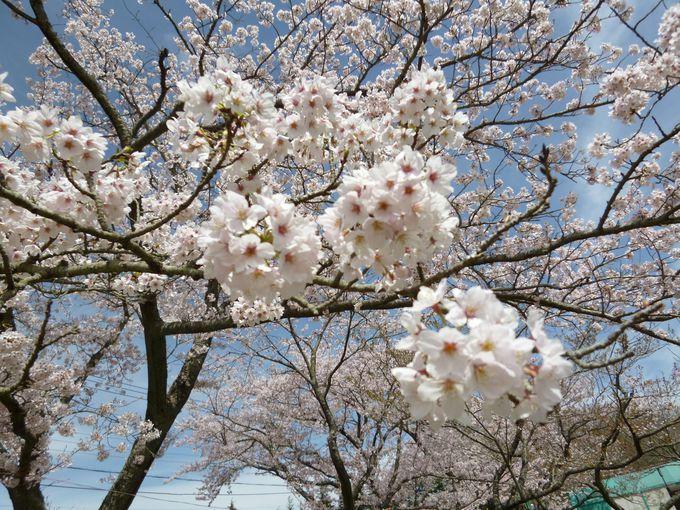 まるで桜の博覧会!珍しい品種がたくさん