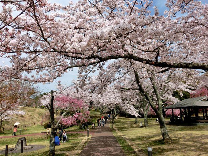 ラベンダーも楽しめる!近くの「伊豆高原桜並木」もお薦め