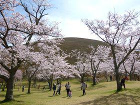 """8か月""""桜""""が咲き続ける!大室山と桜の絶景・伊豆高原「さくらの里」"""
