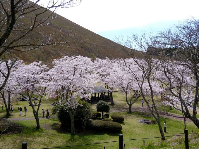 富士山と桜のベストショットもばっちり!