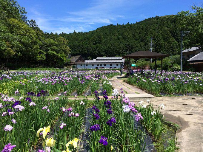 森町の初夏は、花菖蒲・紫陽花・桔梗と目白押し!