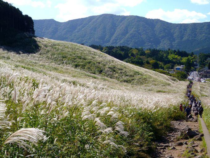 秋の箱根の風物詩「仙石原すすき草原」(神奈川)