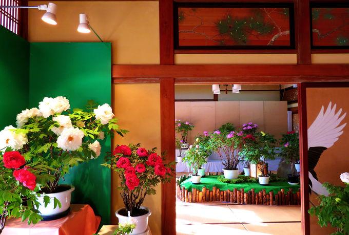 夢のような「室内ぼたん庭園」と巨大な「傘福」にびっくり!