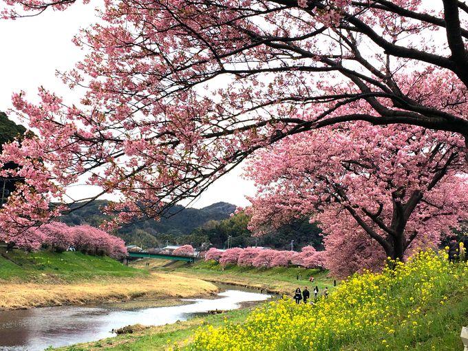 10.みなみの桜と菜の花まつり/静岡