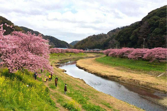 「みなみの桜と菜の花まつり」の巡り方