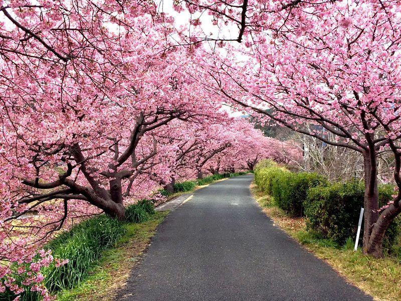 南伊豆町「みなみの桜と菜の花まつり」河津桜と菜の花の絶景の巡り方