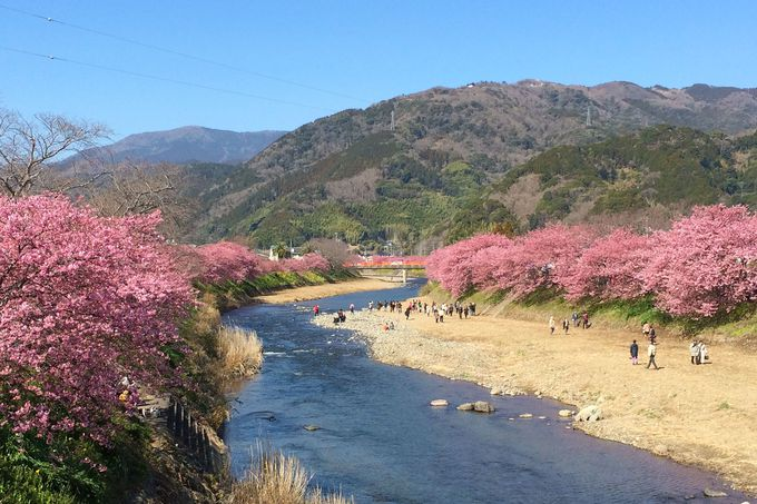 「河津桜まつり」や「河津バガテル公園」と一緒に楽しもう!