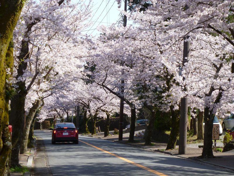 伊豆半島最強の桜スポット!伊東市「伊豆高原桜並木」の楽しみ方