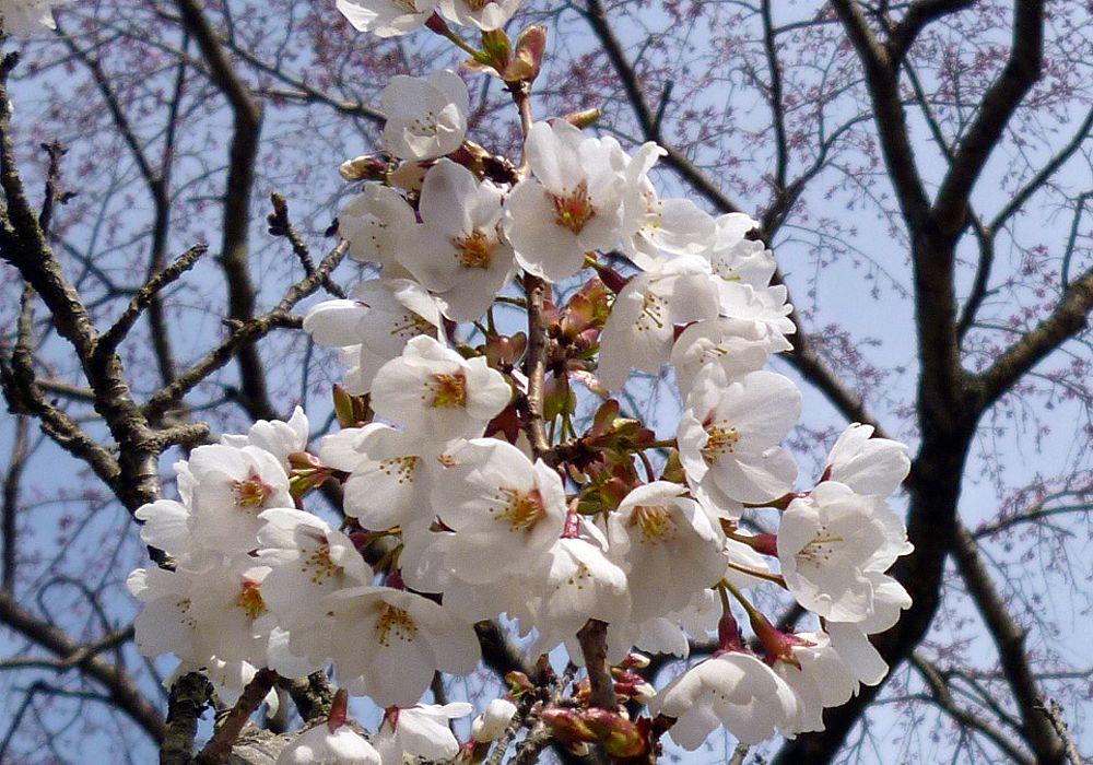 伊豆高原のもうひとつの桜スポット「さくらの里」!