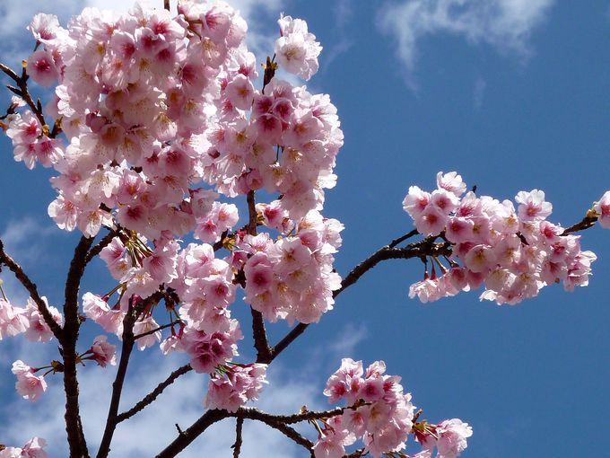 ひと足早く楽しめる!淡紅色の「おおかん桜」