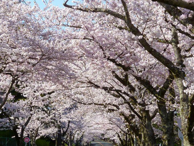 一度は行きたい!大人気の「伊豆高原桜並木」