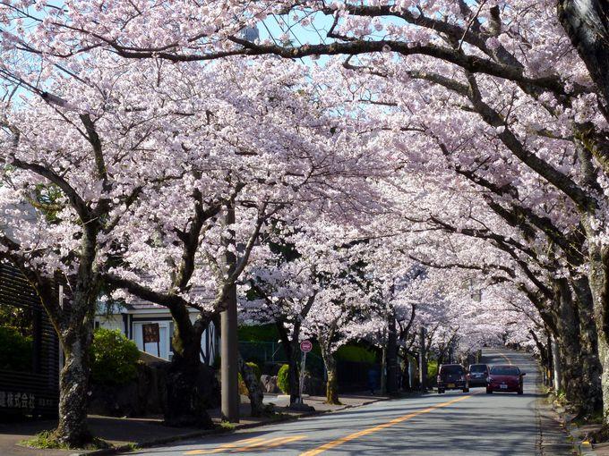 """歩いてもドライブしても最高!夢のような""""桜のトンネル"""""""