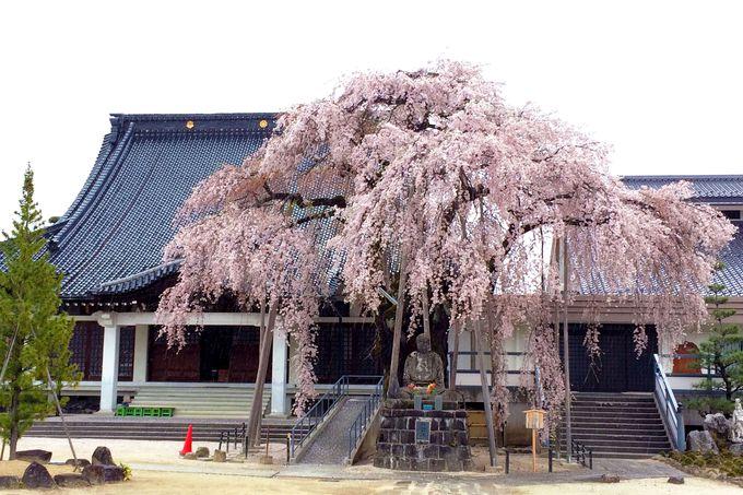 伝馬町・江戸町は桜づくし!まずは大宮通り桜並木と専照寺へ