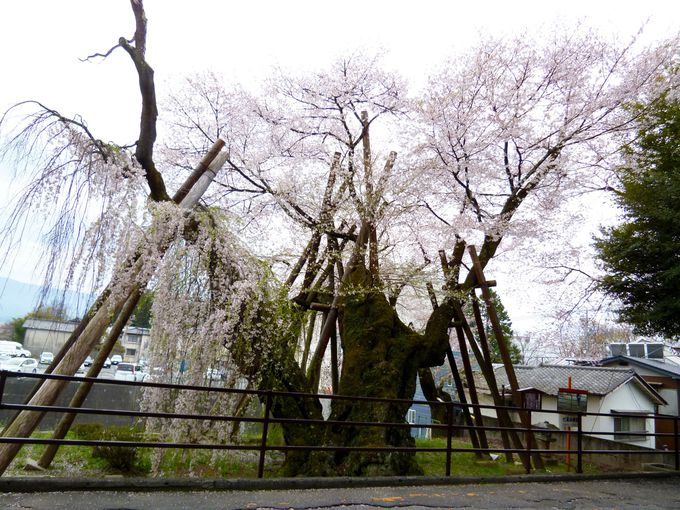 絶対見るべき!安富桜と桜丸御殿址のヒガンザクラ