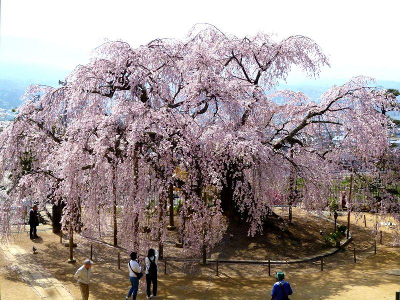 伊那谷の一番人気!麻績の里 舞台桜は必見