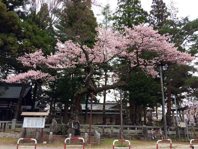 市内最古!愛宕神社の清秀桜と千代蔵桜
