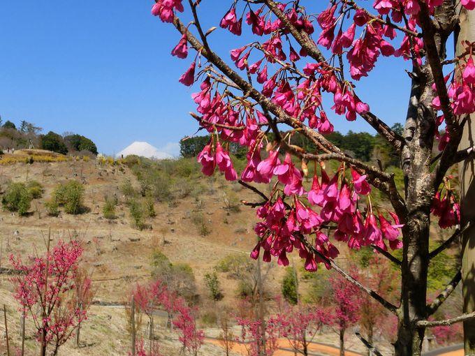 3月〜4月中旬は桜!約500本のカンヒザクラに注目