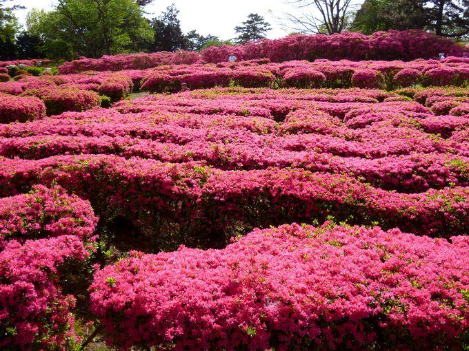 40種類約10万本が咲き誇る!小室山公園つつじ園