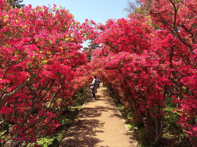 伊東市「小室山公園」つつじ祭りと伊豆随一の大パノラマが美しすぎる!