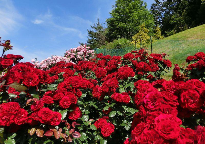 春から夏はバラ・花しょうぶ・アジサイが必見!伊豆「修善寺 虹の郷」