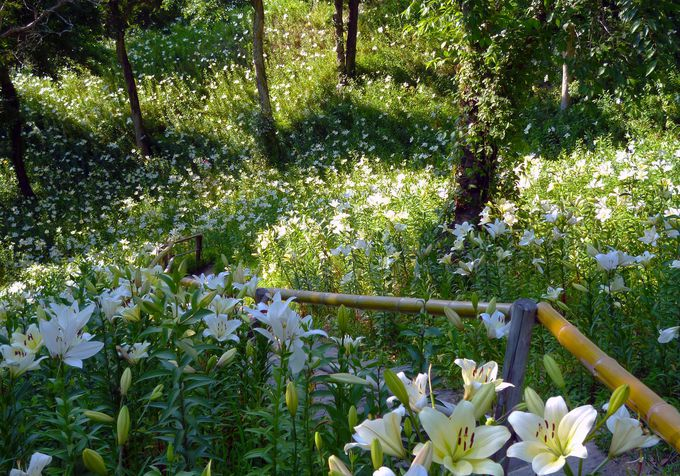 「可睡ゆりの園」園内の絶景をご紹介!