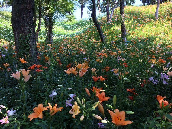 世界約150余品種のユリが咲く広大なゆり園!