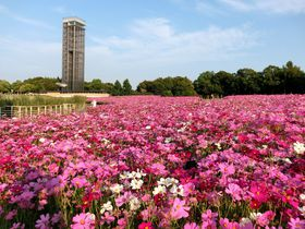 「浜名湖ガーデンパーク」のネモフィラ・ひまわり・コスモス!四季の見どころ