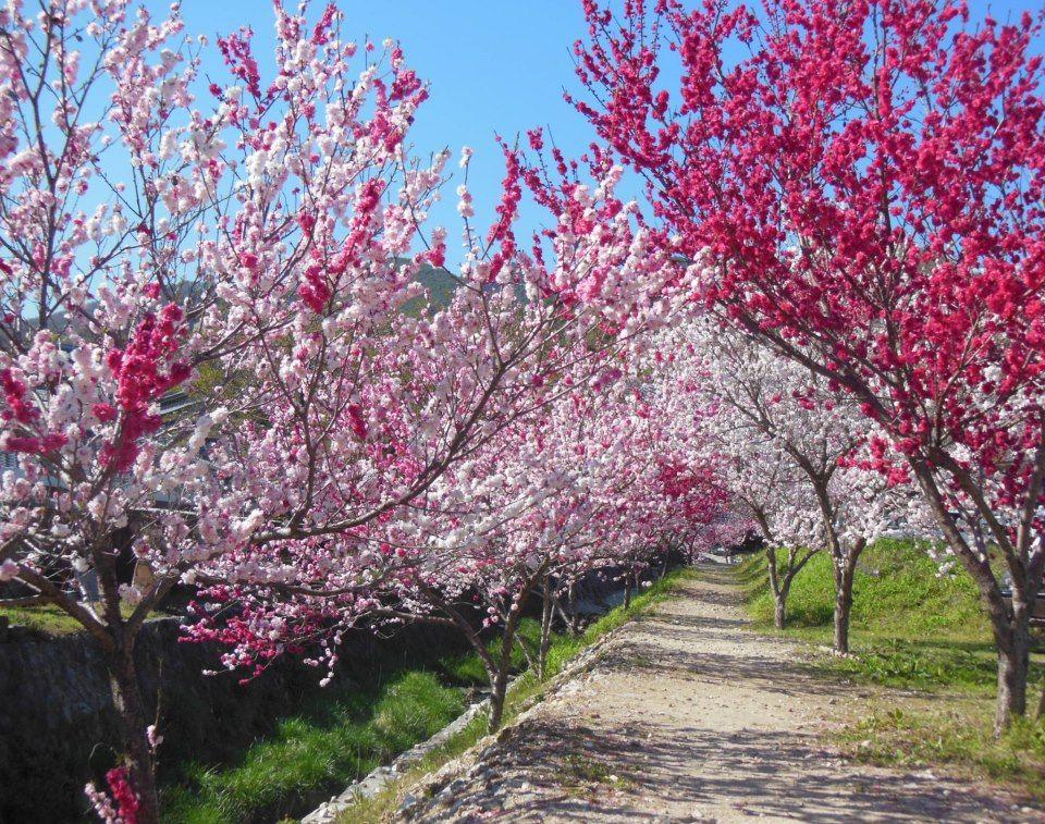 花桃と一緒に温泉や朝市も!「昼神温泉」で散策